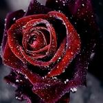 Tá šípová ružička