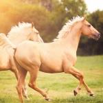 A ty pansky koně