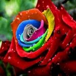 Havířova růže
