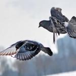 Letěli holubi