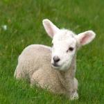 Pomaly ovečky