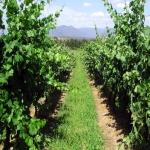 Popod naše vinohrady