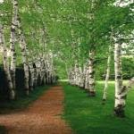 Z brezového dreva